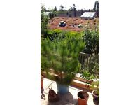 Pinus coniferfor sale over 5ft in large pot