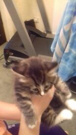 im sale 3 litle cats they born 26.06 (50days)for more info tel:07388025841 50 £ each