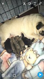 ***PUGS FOR SALE ***