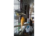 Canaries for sale and 1 budgie