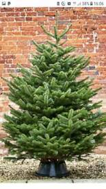 Real Nordman Christmas trees FREE Delivery 7ft 8ft