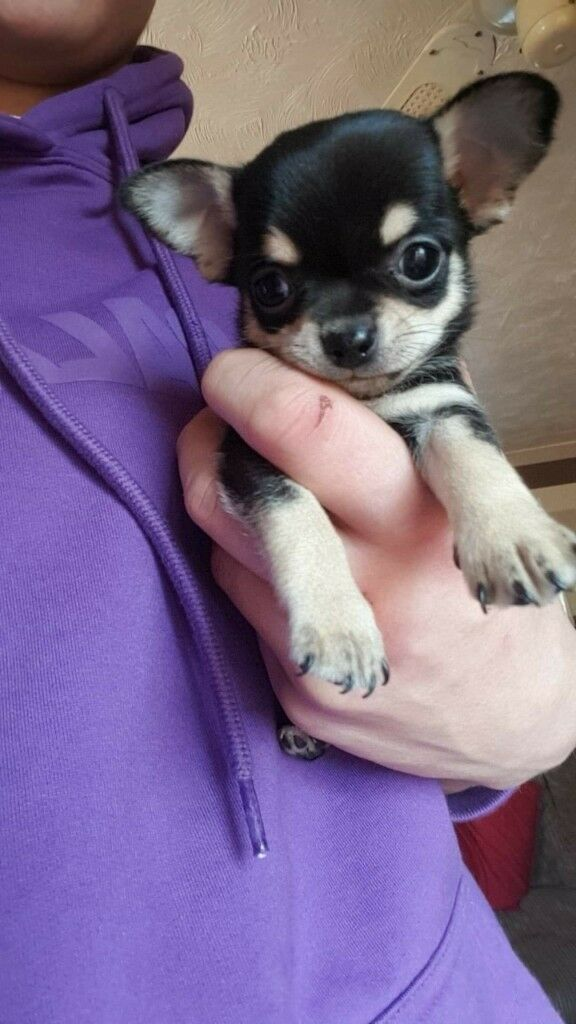 Teacup Chihuahua puppies for sale £700 | in Gosport, Hampshire | Gumtree