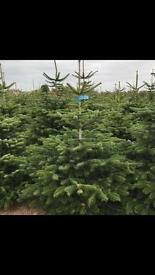 Fresh nordmann fir Christmas tree