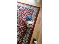 Wheaten Terrier x