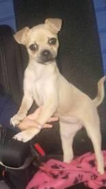 Beautiful chug puppy needs new home