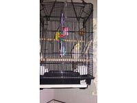 female cockatiel for sale