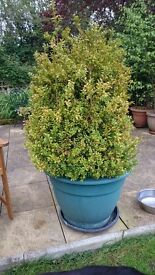 Seven large box bushes in large pots height from bottom of pot to top of bush 150cm