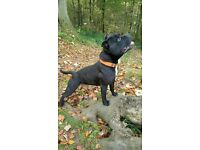 4 year old male black Staffordshire Bull Terrier