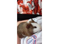 Guinea pig looking for a home
