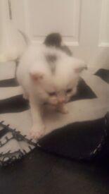 White/Grey Kitten £200 (Female)