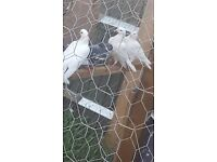 Beautiful White Doves For Sale