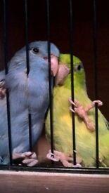 pair budgies birds