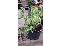 Plants for sale - aquilegia, crocosmia, irises, hostas, peony, schizostylis, geranium, and others