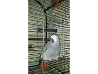 african grey parrot. tame and talks..he is a male.