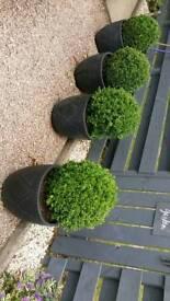 4 Buxus Topiary Balls in Pots