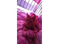Ginger female cat under year old free plz read