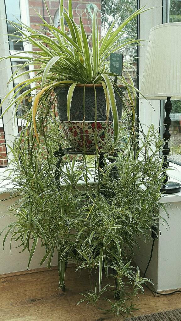extremely large spider plant with dozens of babies in newcastle tyne and wear gumtree. Black Bedroom Furniture Sets. Home Design Ideas