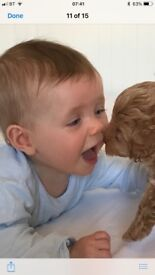 Rare red gorgeous Cavapoo puppies ready may 26th have mum & dad