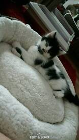 Black and white kitten with everything!!!!!!