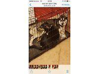 Husky X I need of a good loving home 5 years
