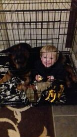 Male 2 year old rottweiler cross german shephard needs good home great with kids