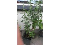 Lovely Plant For Sale
