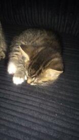 Kitten s for sale £50 each 2x boys 2x girls playful little kittens ready to go now