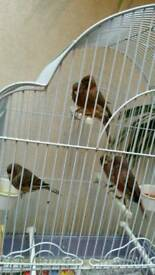 Pair Red mosaic canary for sale