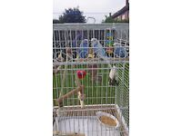 3 lovely budgies with cage and all accessories