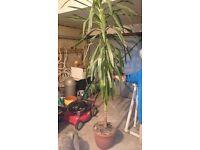 Large yucca tree