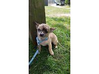 Mini Chihuahua FOR SALE URGENT