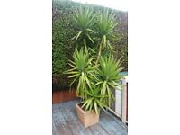 9ft yucca plant