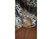 8 month chihuahua