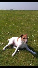 Parson Russell Terrier in need of a loving home