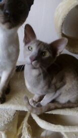 Lilac and fawn oriental kitten