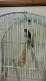 Goldfinch mule