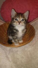 Tabby fluffy kitten