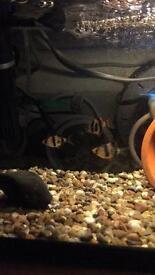 3 tiger barbs , aquarium fish