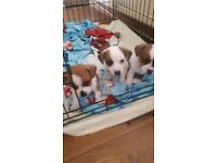 3 STUNNING BROWN AND WHITE Jack Russels left for sale