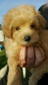 F1 Toy Apricot Maltipoo READY NOW