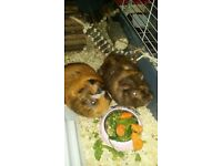 2 guniea pigs and cage for sale