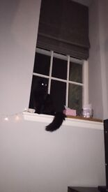 Missing small black cat new town