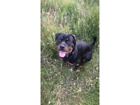 13 month old girl Rottweiler Chipped and all up to date jabs, full bread and kc regeatered