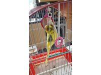 Budgie & Cage for sale