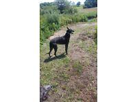 Deerhound greyhound pups for sale