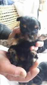 Yorkshire Terrier Puppies - just 2 girls left - miniature teddy bear style - Rochdale