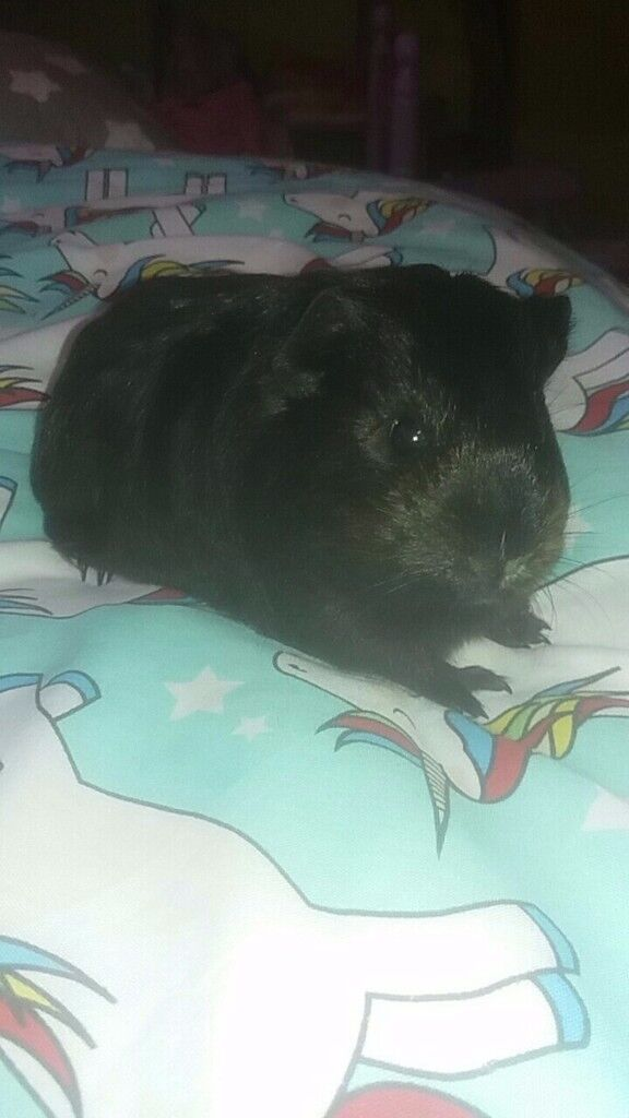 2 baby guinea pigs for sale