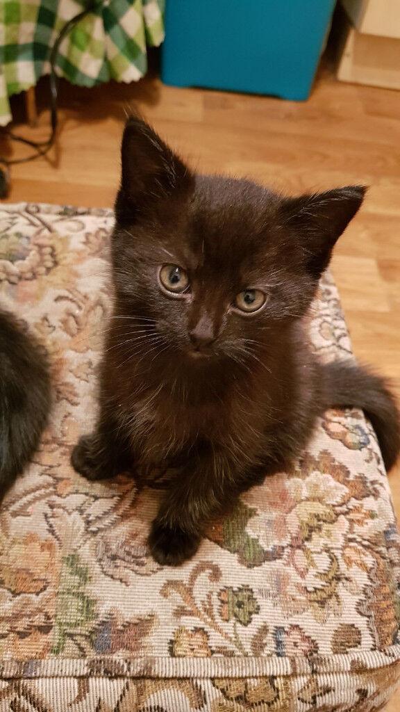 3 black kittens for sale