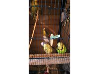 Selling some of my budgies
