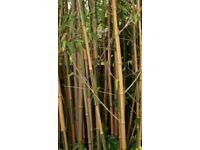 Huge bamboo 20 ft + amazing jungle bamboo